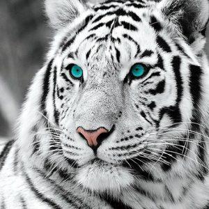 diamond painting tijger wit
